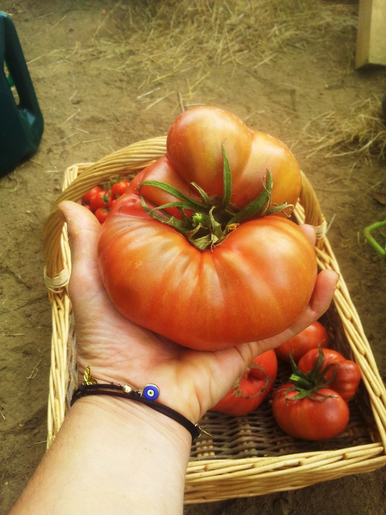 Eighth generation of a tomato that started out at a friend's mum's garden just outside Ankara, Turkey